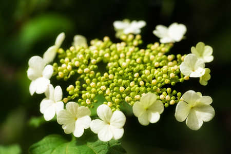 ornamental shrubs with white flowers in bloom, note shallow depth of field
