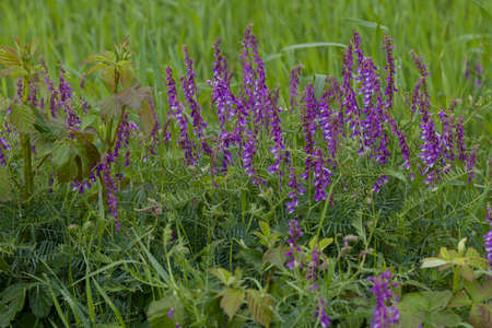 wild purple flowers in tall green grass, note shallow depth of field Imagens - 86545256