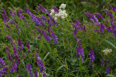 wild purple flowers in tall green grass, note shallow depth of field Imagens - 86545270
