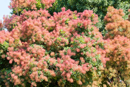Fluffy tree with pink flowers note shallow depth of field stock fluffy tree with pink flowers note shallow depth of field stock photo 86545767 mightylinksfo