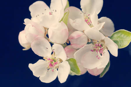 gentle pink and white blossoms on a dark background, note shallow depth of field