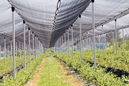 backstop: rows of blueberry seedlings on a plantation with a protective net, note shallow depth of field