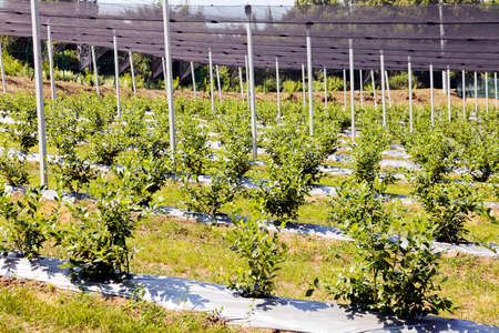 backstop: Young seedlings of blueberry plantation, note shallow depth of field