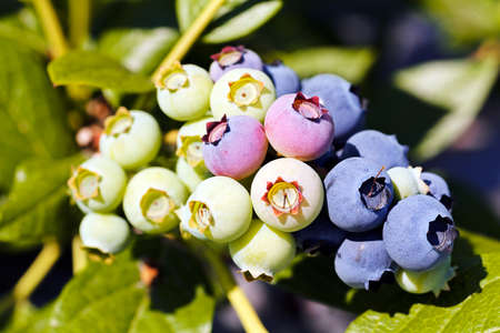 fruits blueberries close-up in nature, note shallow depth of field Stok Fotoğraf