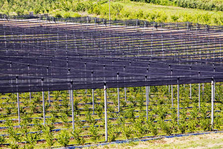 backstop: blueberry plantations watched from afar, note shallow depth of field Stock Photo