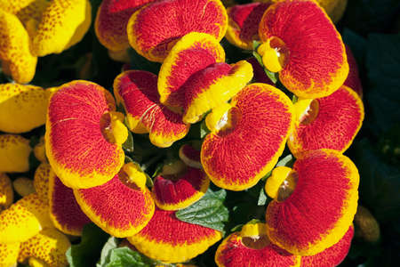 a lot of flowers of red house plant calceolaria, note shallow depth of field