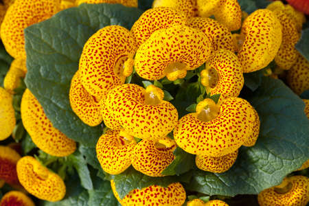 a lot of flowers of yellow house plant calceolaria, note shallow depth of field