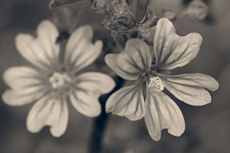 mallow flowers in nature, note shallow depth of field
