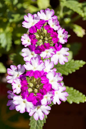 plant with white and violet petals , note shallow depth of field Imagens - 86612482