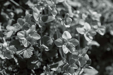 species of wild violets in nature, note shallow depth of field Imagens