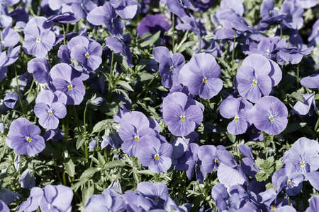 species of wild violets in nature, note shallow depth of field Imagens - 86613144