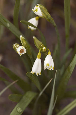 Bucaneve come un suggerimento di primavera su uno sfondo scuro, nota profondità di campo Archivio Fotografico - 86613230
