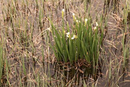 Bucaneve all'inizio della primavera in acqua tra erba, nota profondità di campo Archivio Fotografico - 86613235