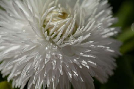 shaggy white flower in close-up on the dark background, note shallow depth of field Stock Photo