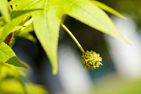 odorous: unusual fruit of the tree with green leaf, note shallow depth of field Stock Photo