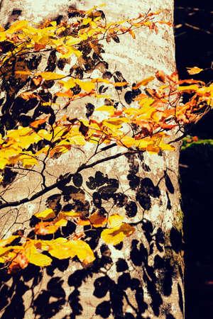RBol de haya en otoño con las sombras de las hojas en el árbol, observe el departamento bajo del campo Foto de archivo - 87973498