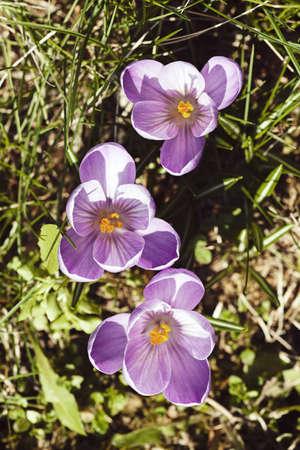 autumn colour: saffron flower in the grass, note shallow depth of field