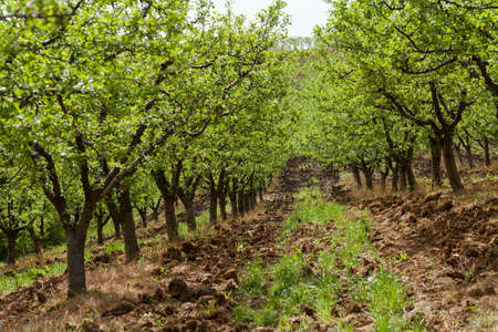 dept: Orchard blossom in spring, note shallow dept of field Stock Photo