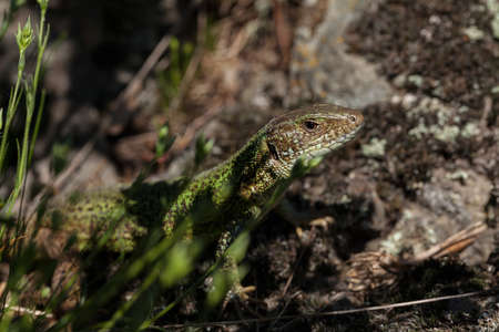 Lizard on the stone base in the countryside, note shallow depth of field