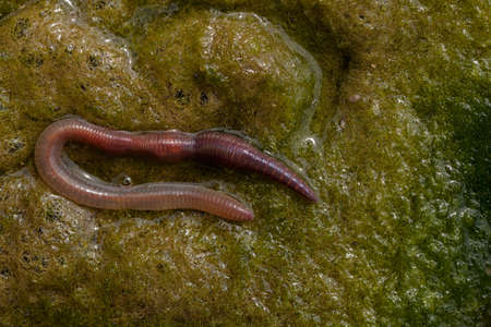 earthworm in green conferva, note shallow depth of field Stock Photo