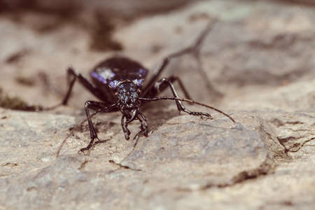 Tiger beetle, fastest insect on the World in nature, note shallow depth of field