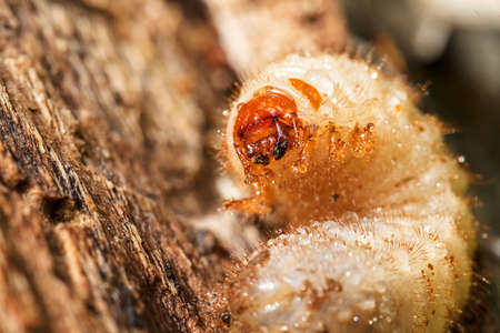 Larvae Close up on tree bark, note shallow depth of field