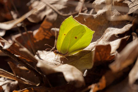 Lemon yellow butterfly on the dry leaves in nature, note shallow depth of field