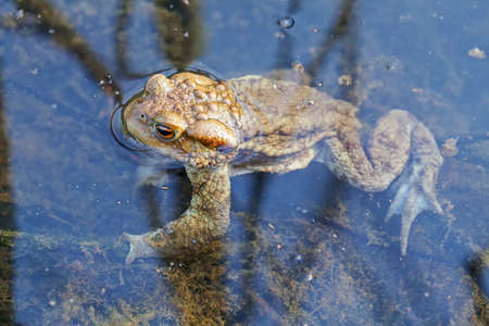 frog in shallow water with plants arround, note shallow depth of field