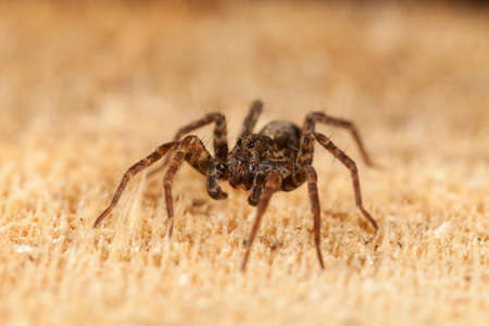 brown spider on untreated board, note shallow depth of field 写真素材