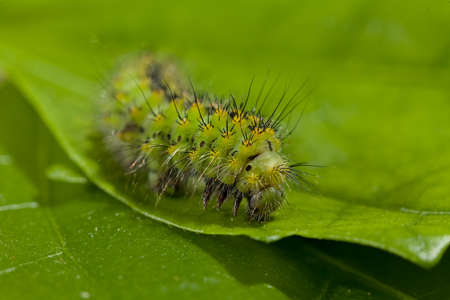 green caterpillar on the leaf in nature, note shallow depth of field