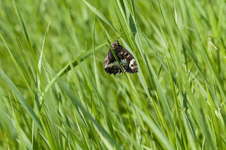 dept: colorful butterfly on a panicle of tall green grass, note shallow dept of field Stock Photo