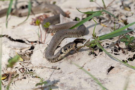 snake slithering on the ground in nature, note shallow depth of field