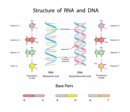Molecular Structure Of DNA and RNA. Infographic Educational illustration