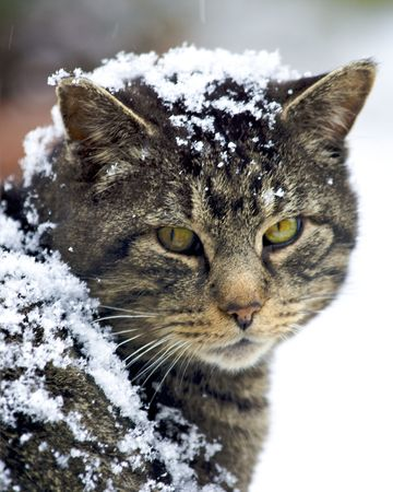 feral: feral cat covered in snow
