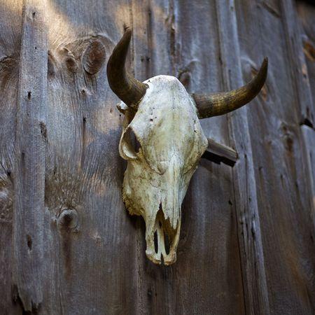 Cow skull hanging on a barn door Stock Photo - 7322652