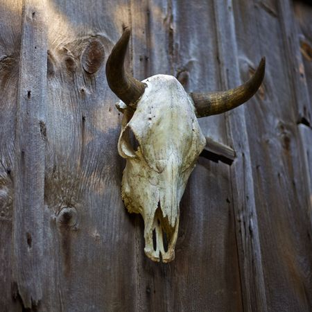 Cow skull hanging on a barn door Stock Photo