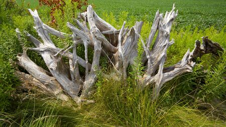 Uprooted tree roots used as a fence barrier Stock Photo