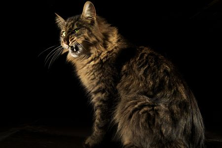 Angry cat on black background snarling ferociously