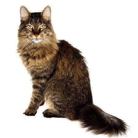 maine coon: Maine-Coon-Katze Isolated on White Lizenzfreie Bilder