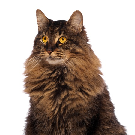 Maine Coon with Golden Eyes on White Stock Photo
