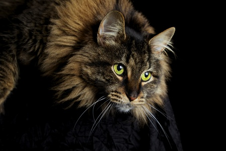 Maine Coon  cat with green eyes staring down on black background