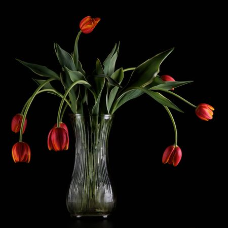 Vase with wilting tulips on a black background