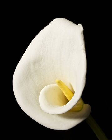 Calla Lily Bloom Isolated on Black Background