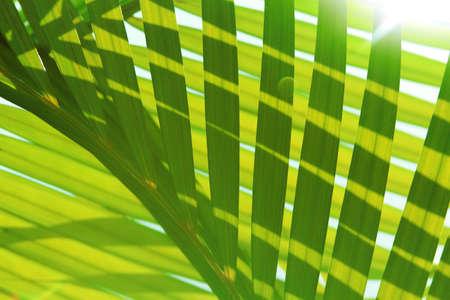 Palm tree leaf - background