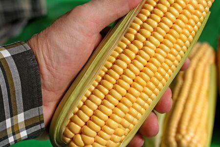 Corn ear - detail Stock Photo