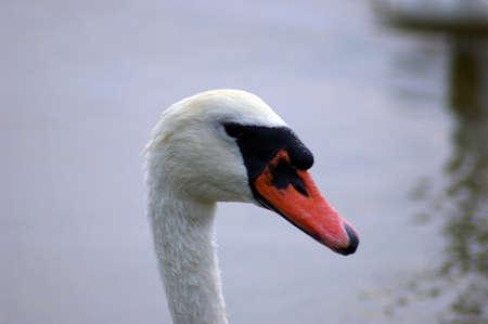 white swan Banco de Imagens - 1573889