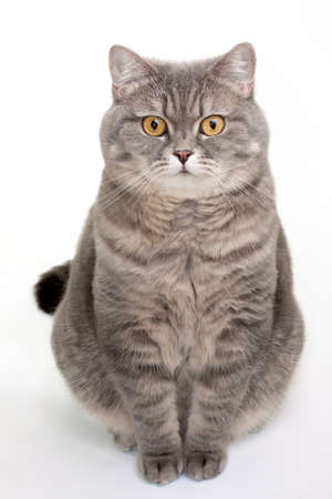 British Shorthair Cat Stock Photo - 12069800