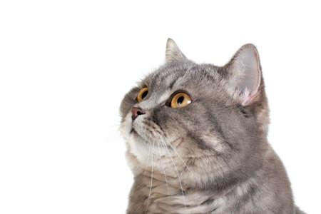 grey tabby: British shorthair cat