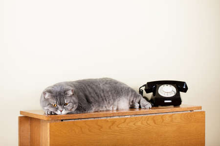 British shorthair cat with retro phone on table Stock Photo