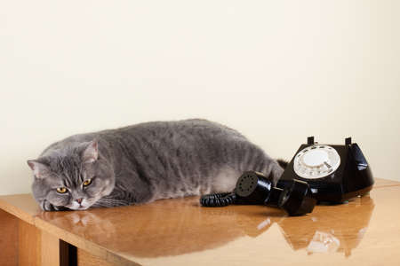 British shorthair cat with retro phone on table photo